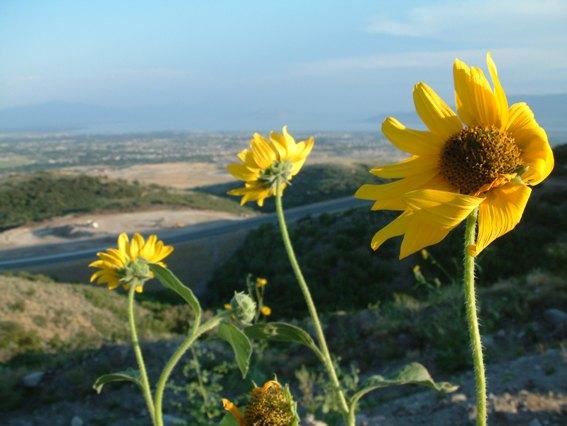 Flowers in Salt Lake valley