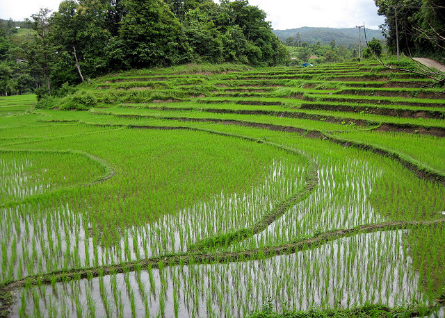 Lush green rice fields in Thailand
